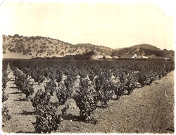 Mangels Vineyards in 1937